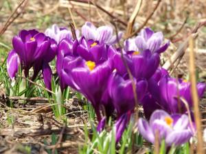 早春の輝き♪クロッカス☆