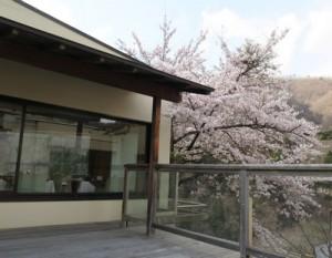 kawasemisakura1